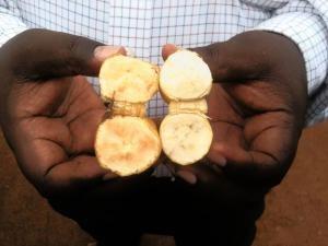 Uganda lai tạo thành công giống chuối màu cà rốt