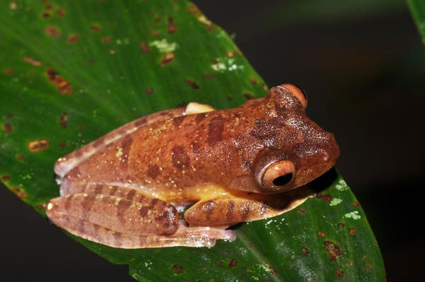 ếch cây Rhacophorus pardalis