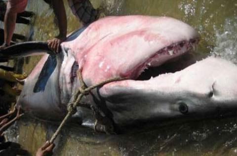 Đã xác định loại cá mập cắn người tại Quy Nhơn