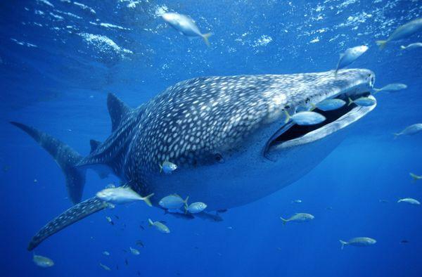 """Video: Cá mập voi hút """"trộm"""" cá của ngư dân"""