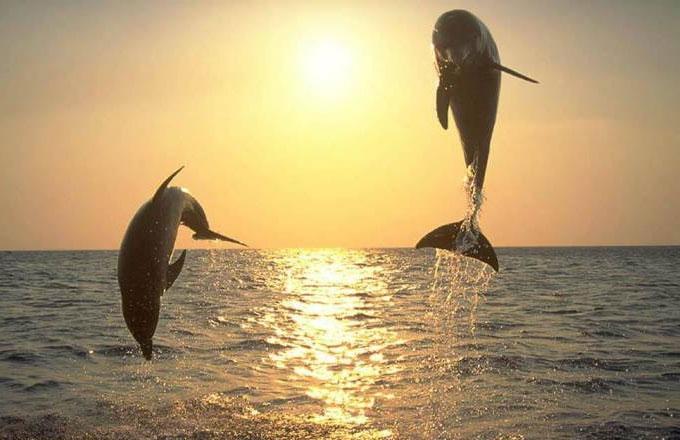 Bảo tồn nửa vời không thể cứu cá heo Maui