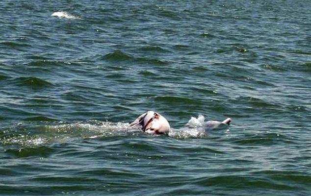 Vết thương dài 30cm ở bụng cá heo con.