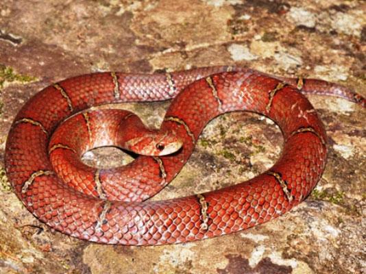 Loài rắn mới thuộc nhóm rắn đỏ Kukri.