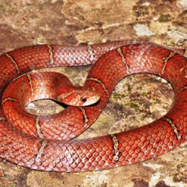 Phát hiện loài rắn đỏ mới ở Campuchia