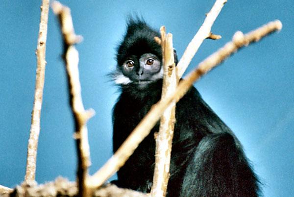 Voọc đen má trắng (Trachypithecus francoisi). Chúng có bộ lông đen tuyền, trên má có vệt lông màu trắng kéo dài quá tai, đỉnh đầu có mào lông đen, đuôi lông màu đen, không xù xì.