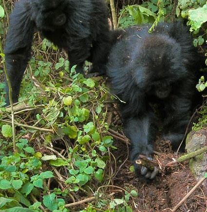Khỉ đột biết cách phá bẫy của thợ săn