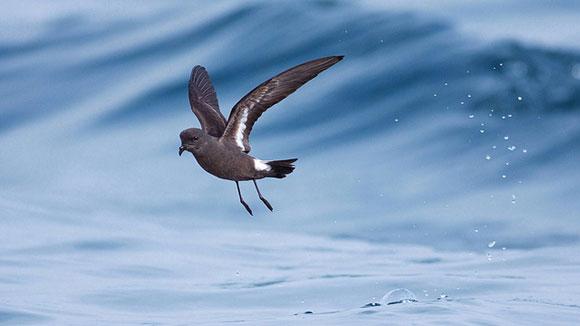 Một con chim hải âu báo bão châu Âu.