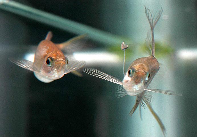 Ảnh động vật tuần qua: Cá đực nhử mồi lừa cá cái