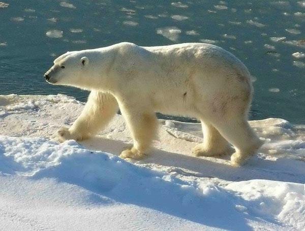 """Gấu bắc cực lại """"chung đụng"""" với gấu nâu"""
