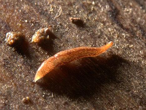Dù thân chỉ dài 12mm nhưng loài sâu này có tới 60 mắt.