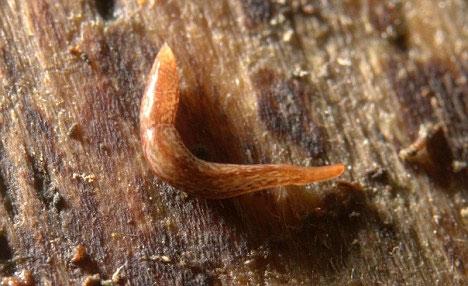 Tiến sĩ Brian Eversham tình cờ phát hiện thấy loài sâu độc đáo này tại vùng đồng cỏ gần Cambridge.