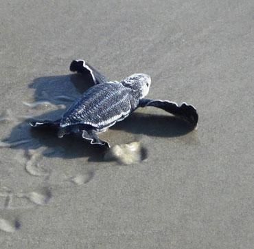 Lần theo dấu vết rùa da bằng vệ tinh