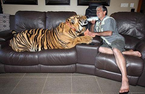 Ông Fernandes, ở Pretoria, Nam Phi đã chăm sóc con hổ dữ giống Bengal có tên là Panjo như một đứa con bé nhỏ của gia đình. Ông cho nó ngồi lên ghế sofa, cho con hổ uống sữa, âu yếm nó.  Nếu sống trong môi trường tự nhiên, con hổ giống Bengal này có thể được xem là mối nguy hiểm đến tính mạng của con người. Nhưng Panjo là lại là trường hợp ngoại lệ, nó hiền và chưa từng làm tổn thương đến con người và những con vật nuôi của gia đình và hàng xóm.