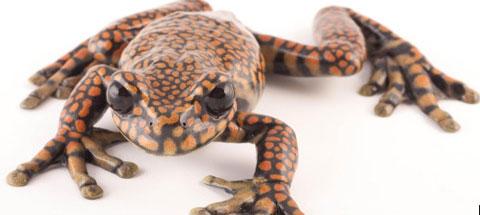 Loài ếch được chức bảo tồn các loài lưỡng cư Amphibian Ark gọi tên khoa học là Hyloscirtus princecharlesi. Các nhà khoa học đặt tên loài ếch quý hiếm này theo tên Thái tử Anh - Prince Charles - nhằm vinh danh những nỗ lực bảo tồn của ông. Prince Charles nói rằng ông rất cảm động bởi hành động trên.