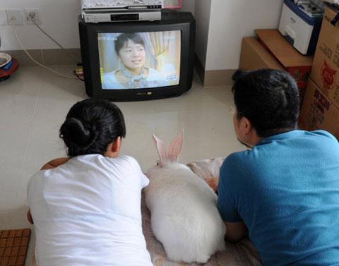 Một cặp vợ chồng ở Hạ Môn, tỉnh Phúc Kiến, Trung Quốc xem tivi với thỏ. Họ đối xử với con thỏ này như con cái của họ. Mỗi đêm lúc 10h tối con thỏ lại nằm giữa hai đôi vợ chồng này để xem bộ phim truyền hình Hàn Quốc yêu thích.
