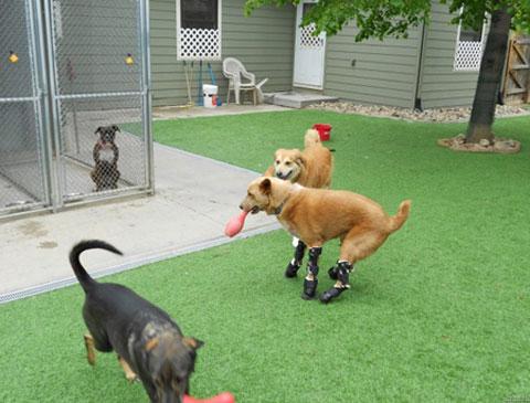 Naki'o trở thành con chó đầu tiên trên thế giới được trang bị bốn bàn chân giả có khả năng chạy nhảy, thậm chí là bơi lội. Khi Naki'o bị bỏ rơi trong vũng nước đông lạnh, chân nó bị tê cóng, may mắn nó được một trung tâm cứu hộ chăm sóc. Kỹ thuật viên thú y Christie Tomlinson từ Colorado, Mỹ nhận nuôi và mua cho Naki'o những cái chân giả. Chân giả này được thiết kế giống như các cơ và xương của chó, cho phép chúng làm mọi thứ như bình thường.