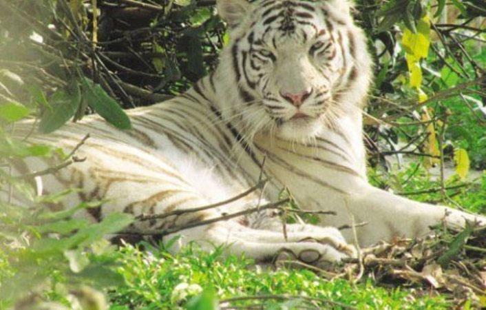 Nghệ An: Hổ mẹ vàng sinh ra con trắng