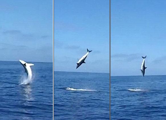 Video: Cá mập nhào lộn trên mặt nước sau khi mắc câu
