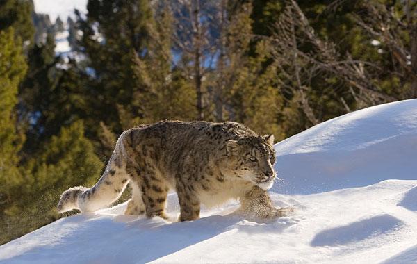 BĐKH đe dọa môi trường sống của loài báo tuyết