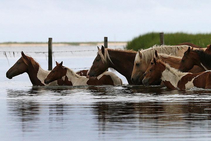 Ảnh động vật tuần qua: Đàn ngựa bơi qua sông