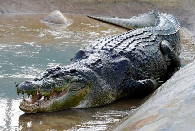 """Cá sấu Lolong làm """"Đại sứ"""" cho chương trình bảo tồn"""