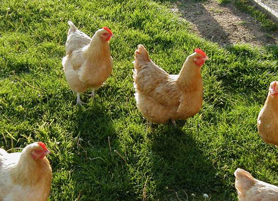 Đông Nam Á - cái nôi của loài gà