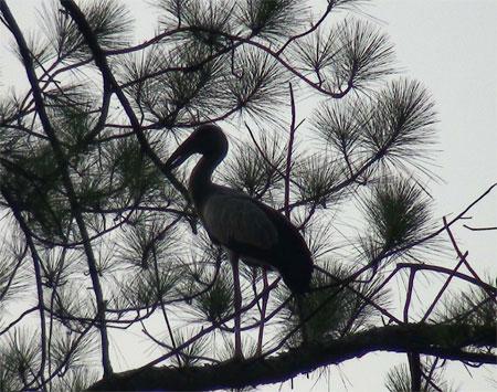 Loài chim cực kỳ quý hiếm xuất hiện ngày càng nhiều trong thành phố
