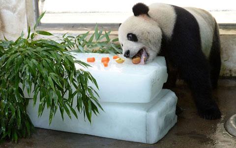 Nhân viên vườn thú thành phố Vũ Hán, Trung Quốc đặt trái cây và lá tre lên các tảng băng để gấu trúc giải khát.