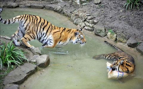 Hai con hổ Amur chơi đùa dưới nước trong vườn thú Dudley, Anh