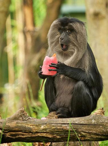 Khỉ macaque thưởng thức que kem cà rốt trong vườn thú Bristol, Anh.