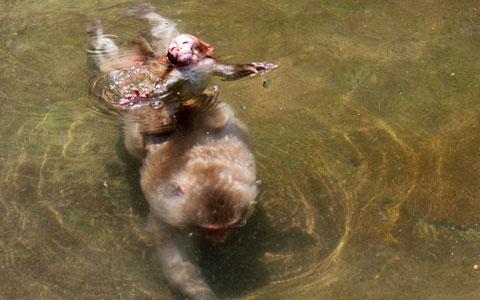 Khỉ macaque con cố gắng giữ đầu trên mặt nước khi mẹ của nó bơi trong vũng nước tại Jigokudani, Nhật Bản.