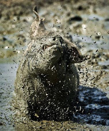 Lợn dầm bùn để chống nóng tại Buren, Hà Lan.