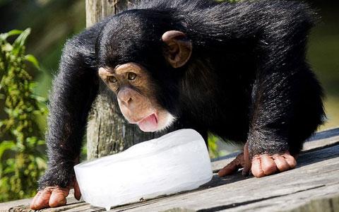 Tinh tinh liếm khối nước đóng băng để giải nhiệt trong vườn thú Beekse Bergen, Hà Lan.