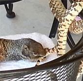 Video: Sóc cả gan cắn rắn
