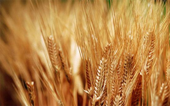 Phát hiện trồng và chăm sóc lúa mỳ bằng tia laser