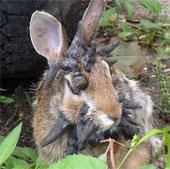 """Thỏ """"yêu quái"""" mọc sừng khắp đầu"""