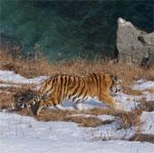 Chùm ảnh con hổ quý hiếm, tuyệt đẹp vùng Siberia