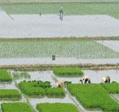 Phú Thọ khảo nghiệm thành công nhiều giống lúa mới