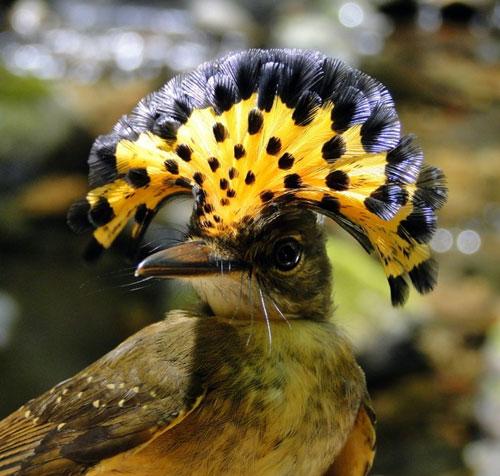 Chim dẻ quạt hoàng gia Amazon
