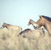 Vó ngựa hoang Przewalski lại vang rộn thảo nguyên