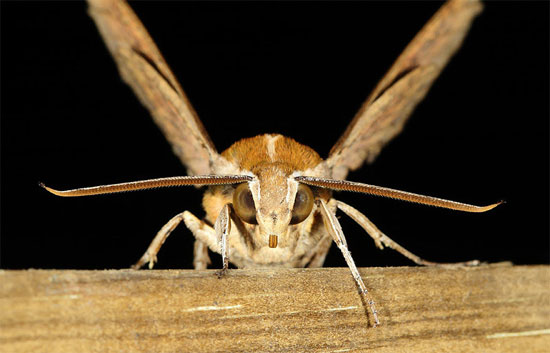 Cơ chế phòng thủ quái dị của bướm đêm