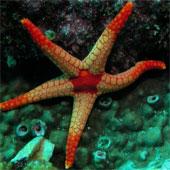 Sao biển liên kết thiếu trong tiến hóa về thị giác?
