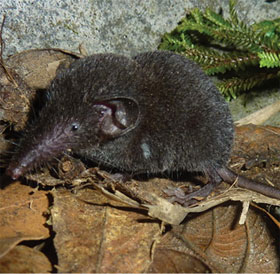 """Phát hiện loài """"chuột chù cây"""" mới ở Sa Pa"""
