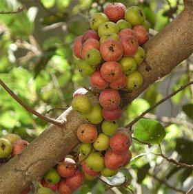 """Những loài cây kỳ diệu biết """"đẻ ra quả"""" ngay trên thân"""