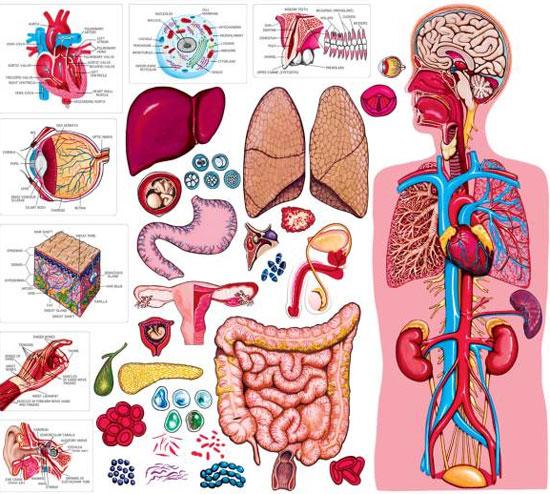 """Bộ phận nào của cơ thể con người """"vô dụng"""" nhất?"""