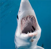 Video: Cận cảnh cá mập Mako săn mồi