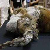 Trưng bày xác voi ma mút 39.000 năm tuổi