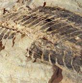 Australia tìm thấy hóa thạch hàng chục triệu năm tuổi