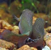 Video khả năng bật nhảy của cá rivulus