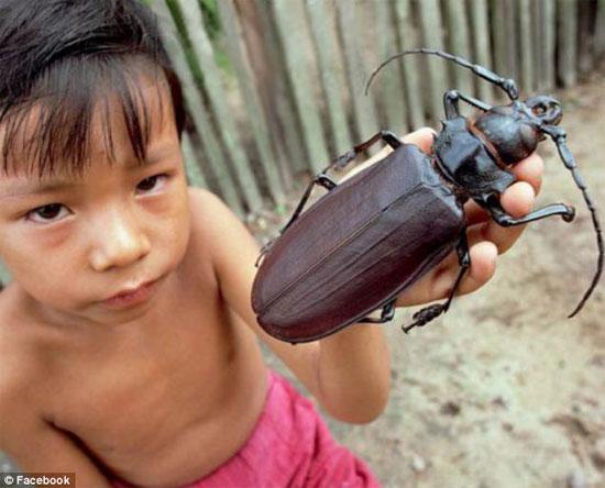 Bí ẩn bọ cánh cứng khổng lồ